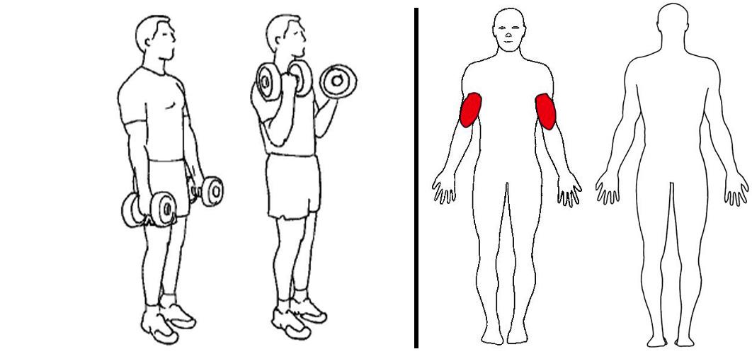 Biceps curl med manualer